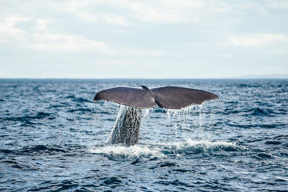 Walflosse beim Walwatching in Neuseeland