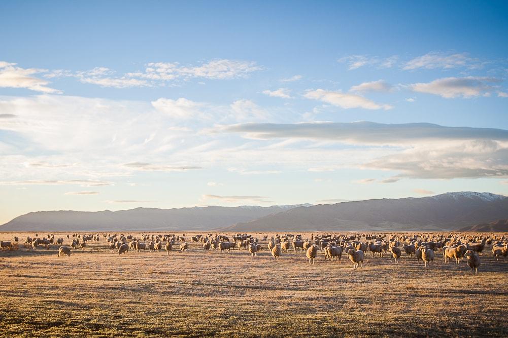 Reiseblog Neuseeland, Schafe Neuseeland
