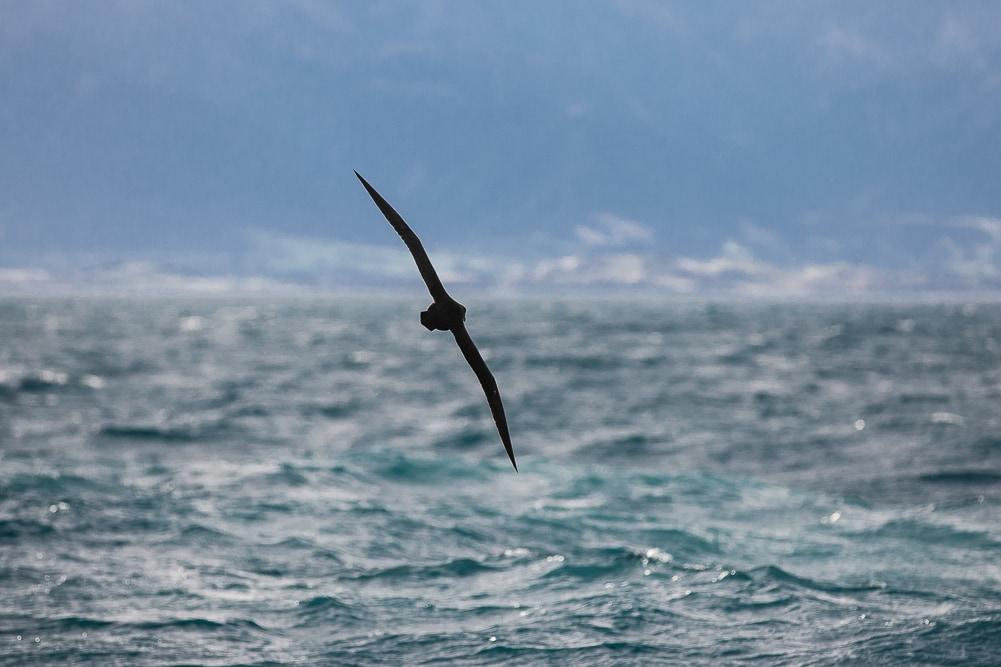 fligender Albatros in Neuseeland, Kaikoura