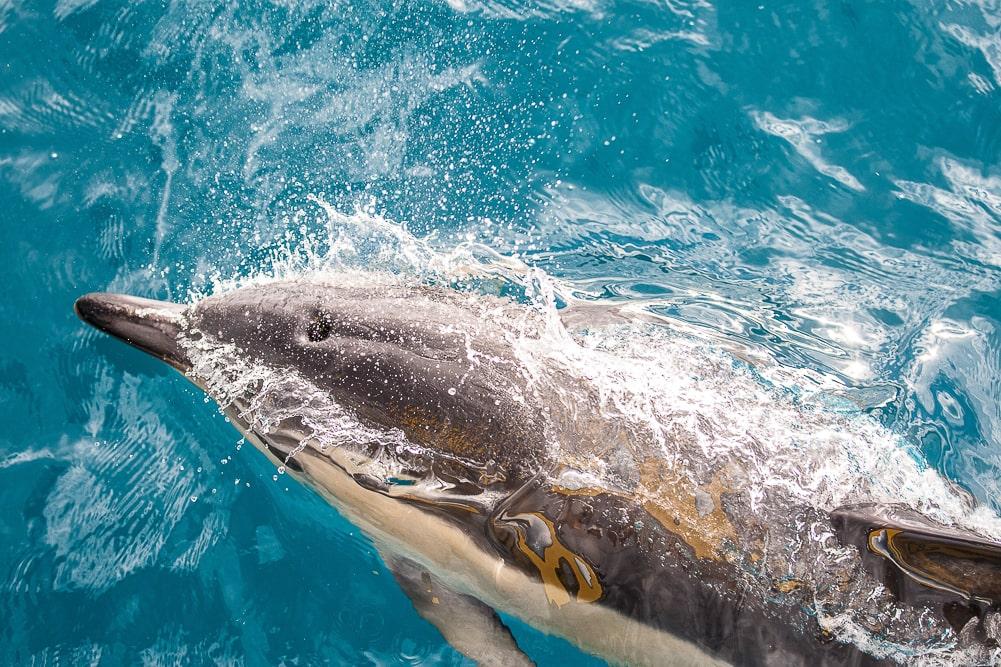 Delfin beim Walewatschin in Neuseeland