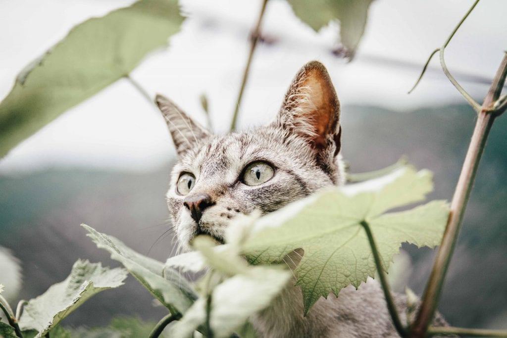 Katze in Weinreben