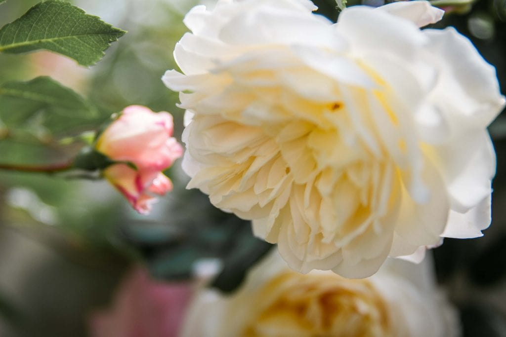 weiße blühende Rose