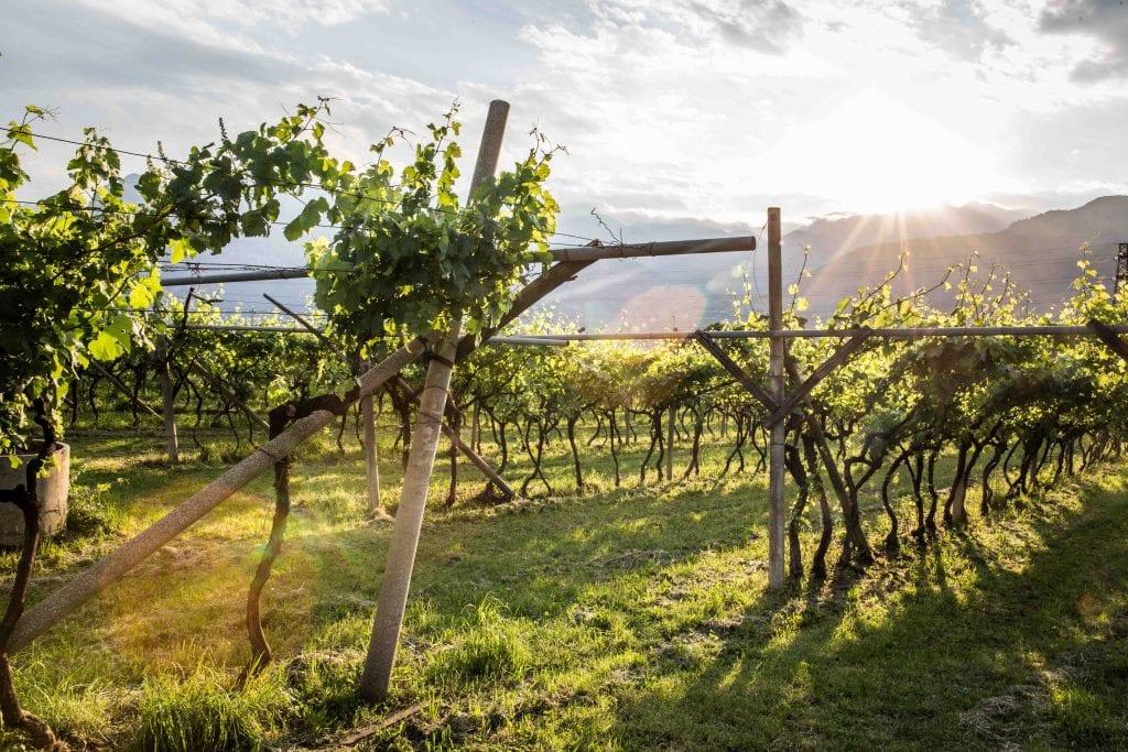 Olivenhaine in Italien