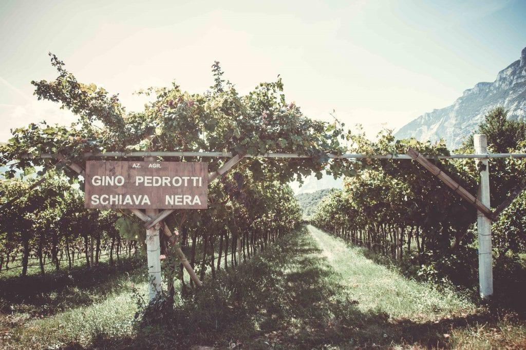 Weinreben Italien Gino Pedrotti Schiava Nera