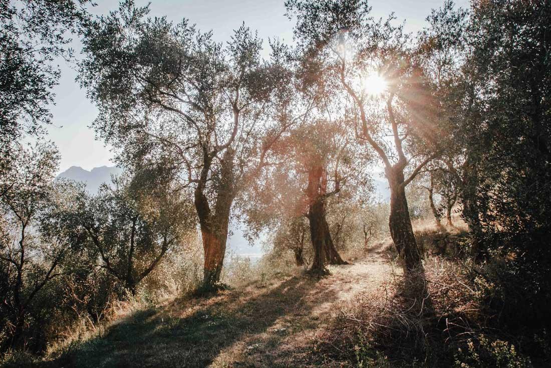 Olivenbäume Italien