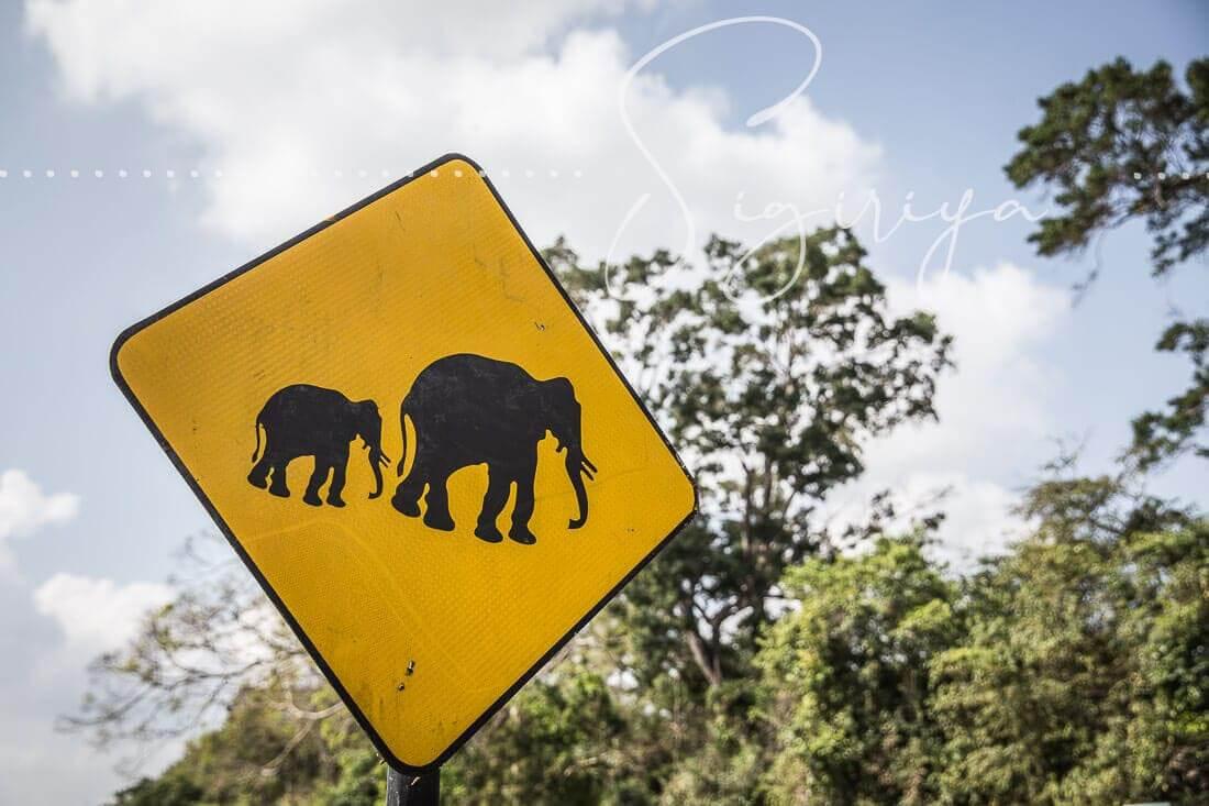 Pidurangala Rock in Sigiriya – Elephants are crossing