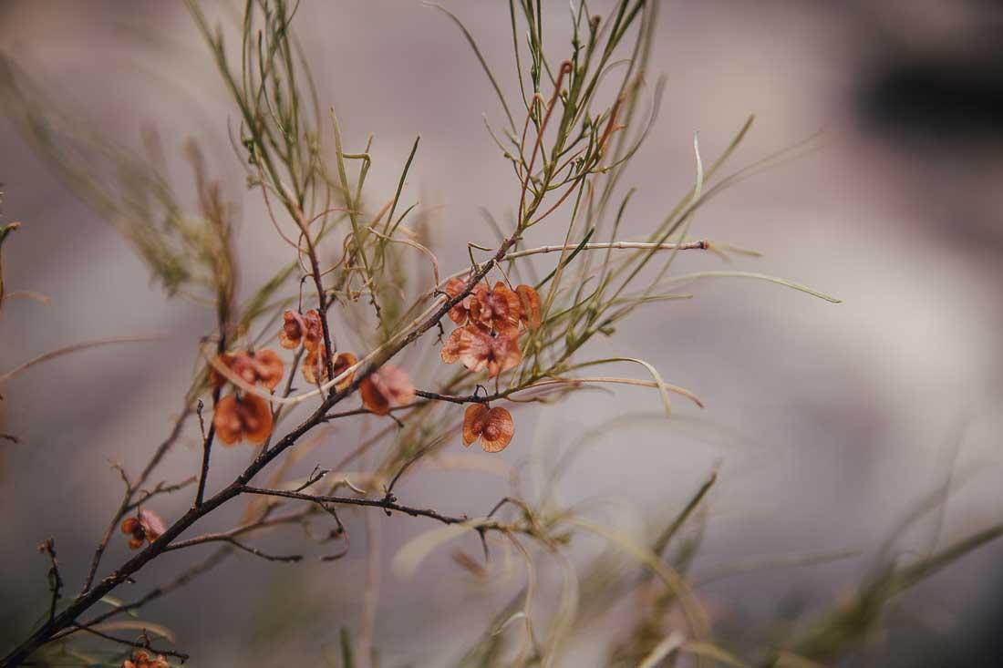 Australien Pflanze