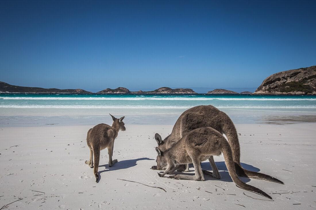 Känguru Familie am Strand am Lucky Bay Australien