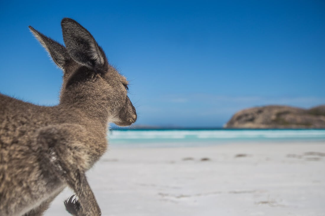 Känguru am Strand von Lucky Bay in Australien