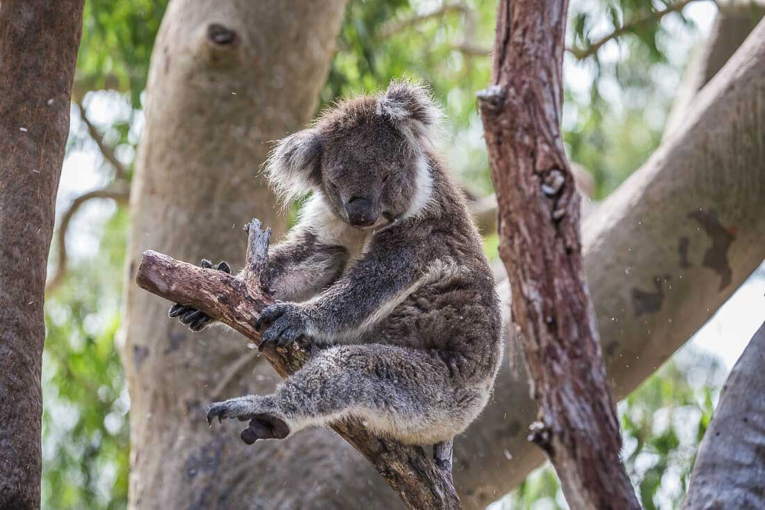 Koala Board Walk