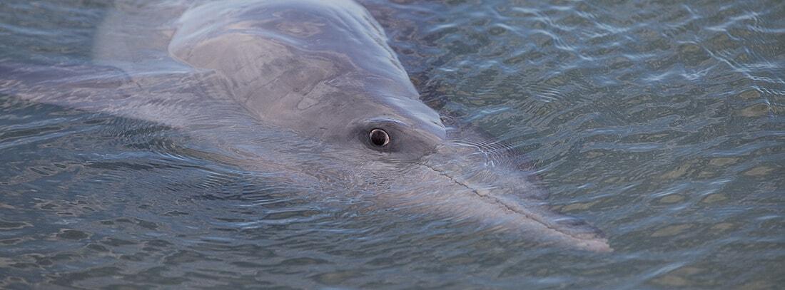 Monkey Mia Delfin im Monkey Mia im Francois-Peron-Nationalpark Australien