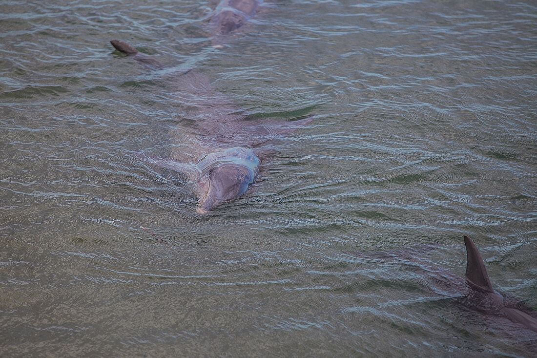 schwimmender Delfin bei Monkey Mia Australien