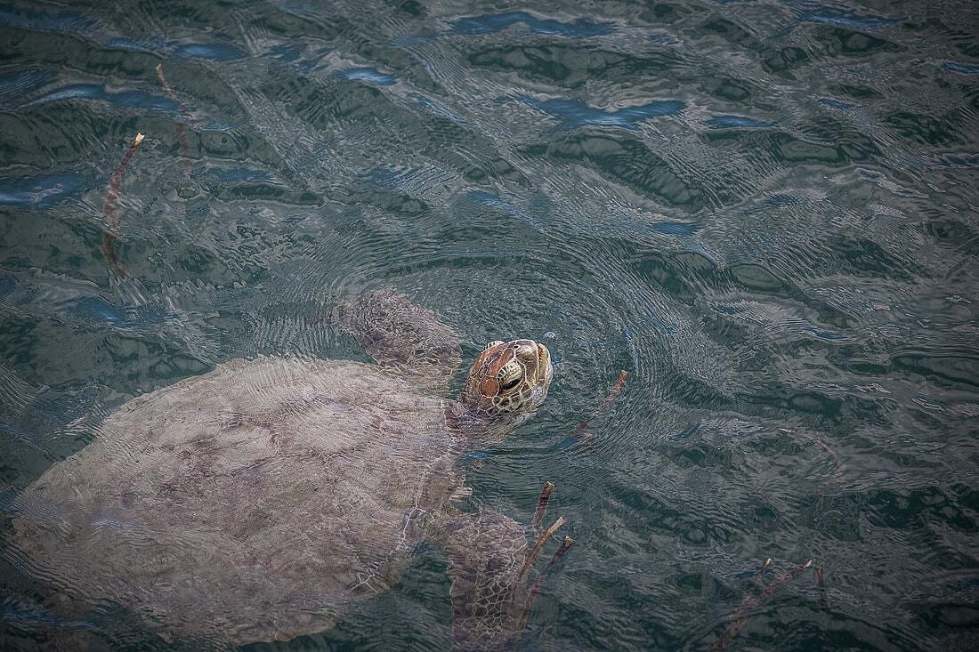 schwimmende Wasserschildkröte von Monkey Mia