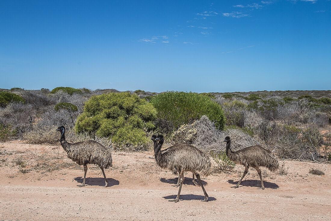 gehende Strauße am Wegrand im National Park Australien