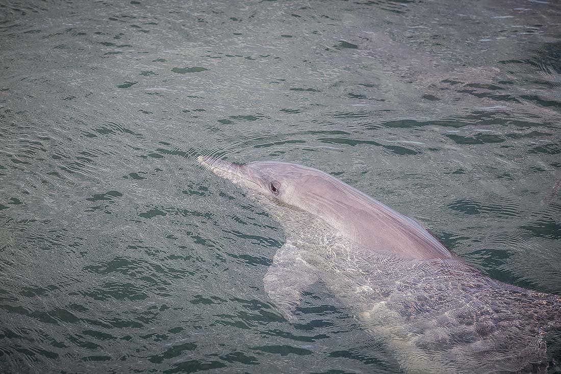 Delfin im Wasser von Monkey Mia Western Australia